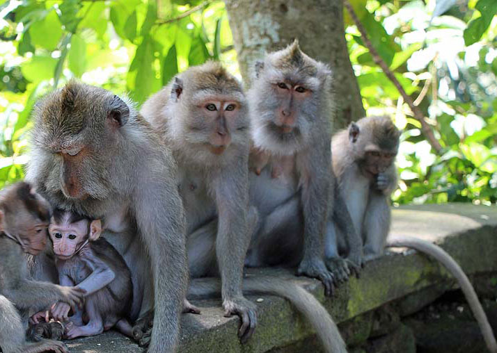 Monkey family with babies in the Sacred Monkey Forest